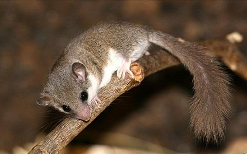 Loir-africain-Graphiurus-spec-xopark2