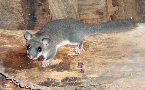 Loir-africain-Graphiurus-spec-xopark4