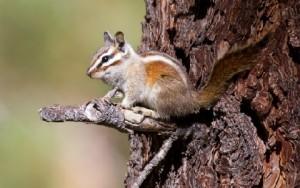Neotamias speciosus (Tamia de Californie - Lodgepole chipmunk)
