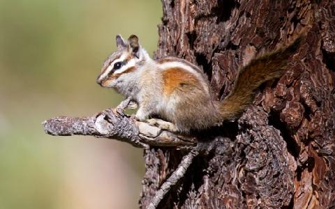 Neotamias-speciosus-Tamia-de-Californie-Lodgepole-chipmunk-xopark4