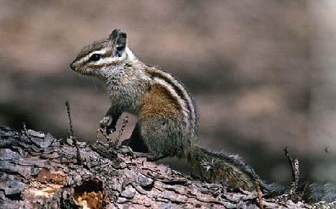 Neotamias-speciosus-Tamia-de-Californie-Lodgepole-chipmunk-xopark6