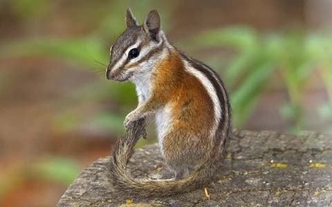 Neotamias-speciosus-Tamia-de-Californie-Lodgepole-chipmunk-xopark7