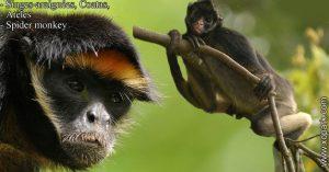Singes-araignées - Coatas, - Ateles - Spider monkey - xopark