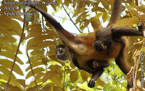 singes-araignees-coatas-ateles-spider-monkey-xopark1