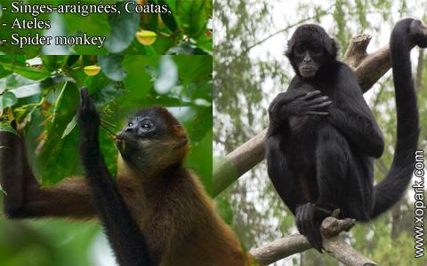 singes-araignees-coatas-ateles-spider-monkey-xopark10