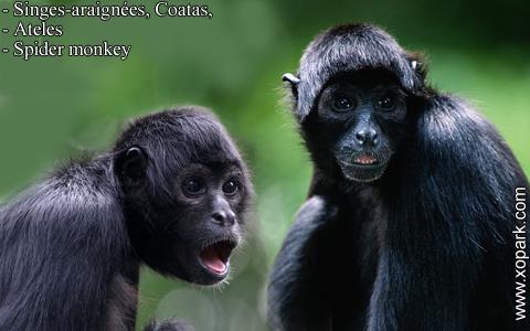 singes-araignees-coatas-ateles-spider-monkey-xopark2