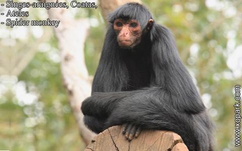 singes-araignees-coatas-ateles-spider-monkey-xopark3