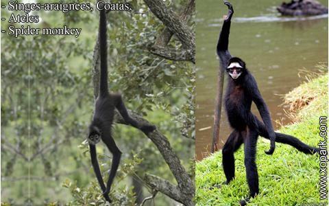 singes-araignees-coatas-ateles-spider-monkey-xopark4