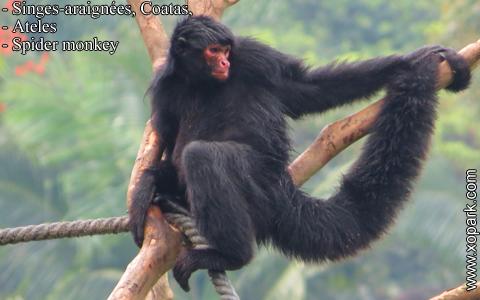 singes-araignees-coatas-ateles-spider-monkey-xopark5