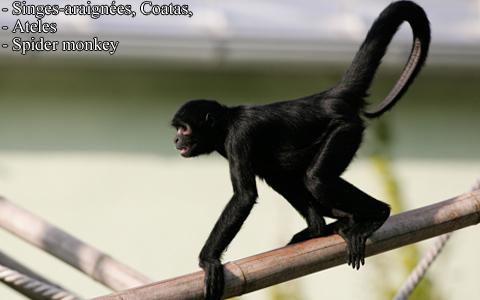 singes-araignees-coatas-ateles-spider-monkey-xopark7
