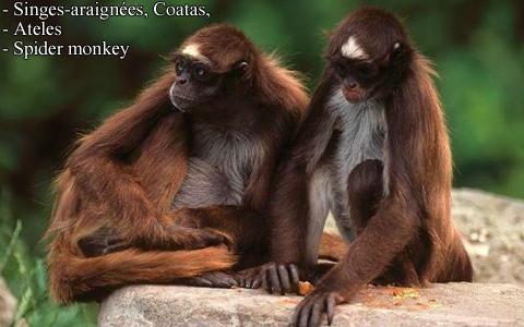 singes-araignees-coatas-ateles-spider-monkey-xopark8