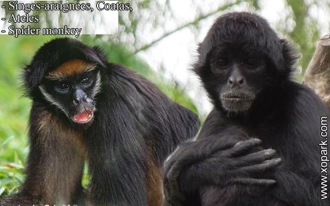 singes-araignees-coatas-ateles-spider-monkey-xopark9
