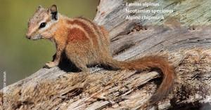 Tamias alpinus (Neotamias speciosus - Alpine chipmunk)