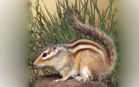 Tamias-alpinus-Neotamias-speciosus-Alpine-chipmunk-xopark1