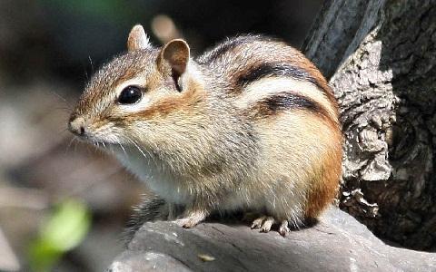 Tamias-alpinus-Neotamias-speciosus-Alpine-chipmunk-xopark2