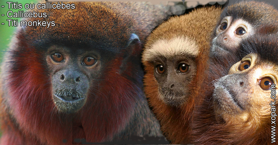 Titis ou callicèbes - Callicebus - Titi monkeys - xopark3