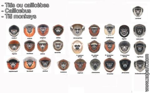 titis-ou-callicebes-callicebus-titi-monkeys-xopark10