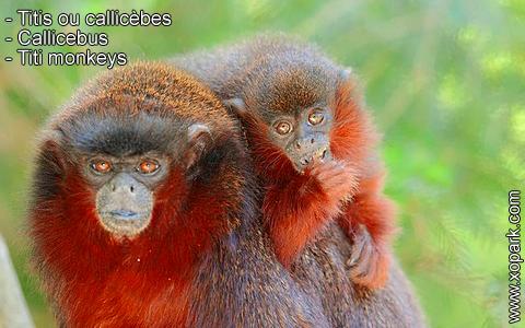 titis-ou-callicebes-callicebus-titi-monkeys-xopark2