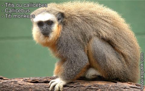 titis-ou-callicebes-callicebus-titi-monkeys-xopark3