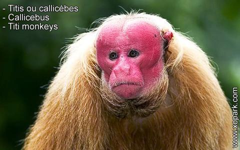 titis-ou-callicebes-callicebus-titi-monkeys-xopark4
