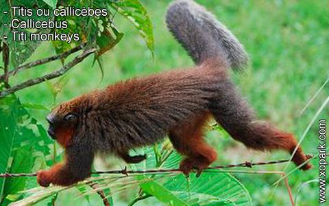 titis-ou-callicebes-callicebus-titi-monkeys-xopark8
