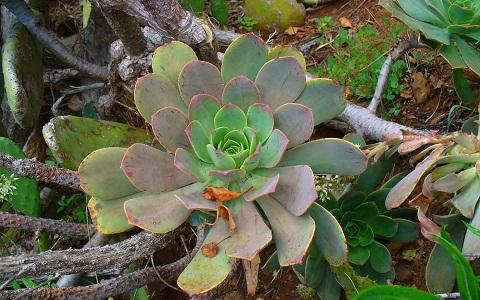 Xopark3crassulaceae-aeonium-davidbramwellii