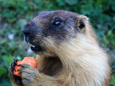 Rongeurs: Marmottes