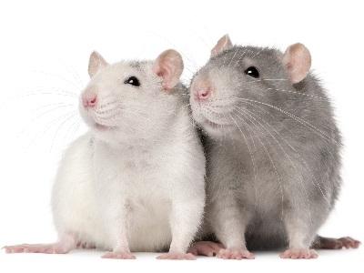 Rongeurs: Rats
