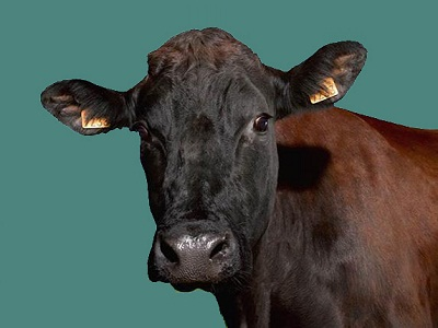Bovidés: Vaches