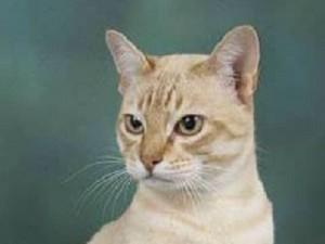 Australian mist est une espèce des chats de la famille des Félidés (Félins, Felidae),