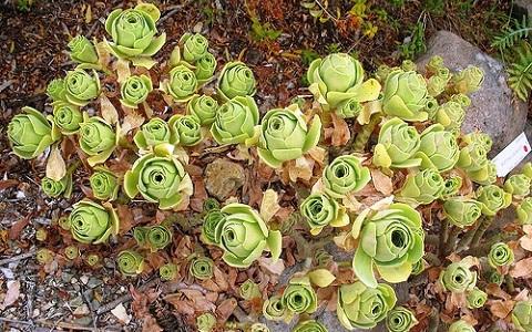xopark1Aeonium-balsamiferum