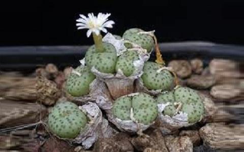 xopark1Conophytum-muirii