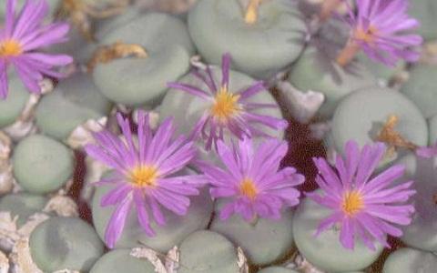 xopark1Conophytum-namaquanum