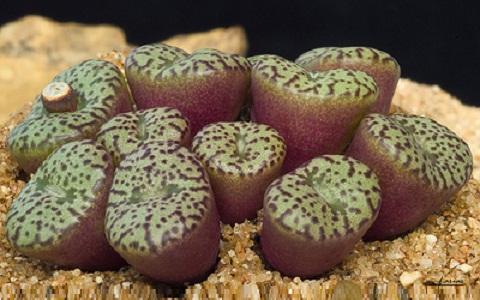 xopark1Conophytum-obcordellum-ssp—stenandrum