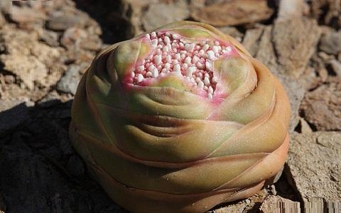 xopark1Crassula-columnaris