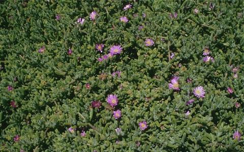 xopark1Drosanthemum-hispidum—Ficoide