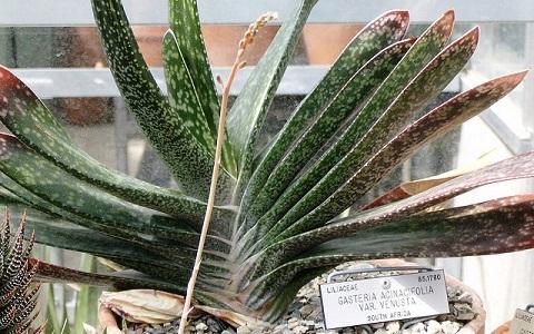 xopark1Gasteria-acinacifolia