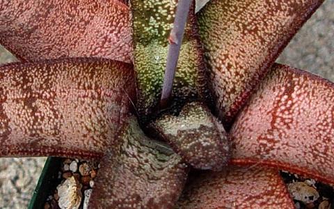 xopark1Gasteria-batesiana