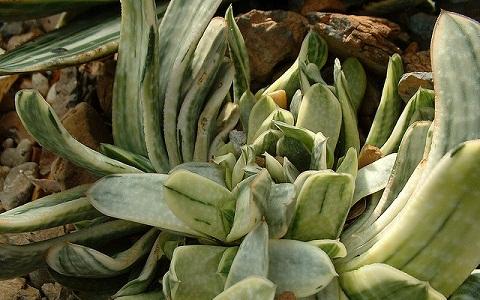 xopark1Gasteria-brachyphylla