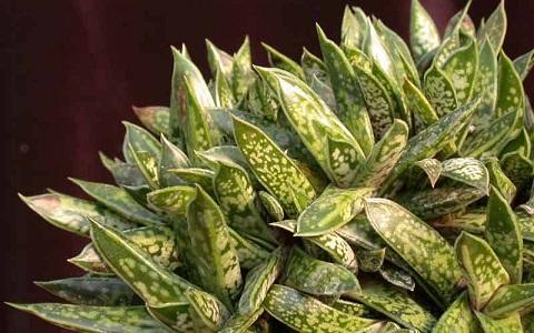 xopark1Gasteria-liliputana