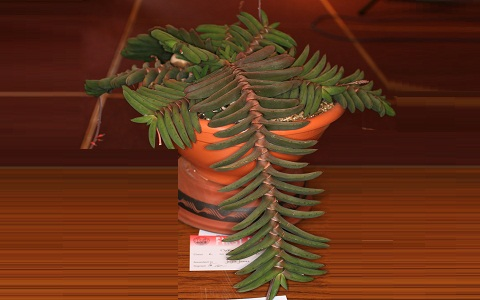 xopark1Gasteria-rawlinsonii