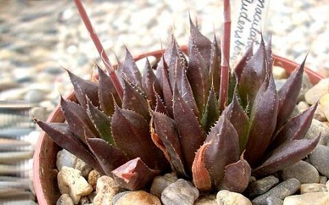 xopark1Haworthia-maculata