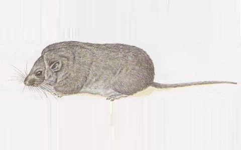 xopark1Loir-du-désert—Selevinia-betpakdalaensis