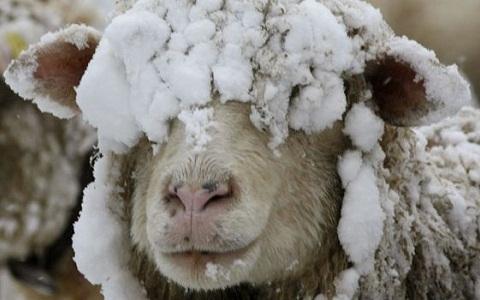 xopark1Mouton-islandais—Icelandic-sheep