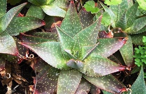 xopark2Aloe-saponaria—Aloe-zébrée