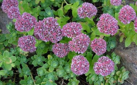 xopark2Anacampseros-albidiflora
