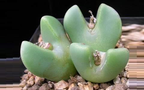 xopark2Conophytum-bilobum-var