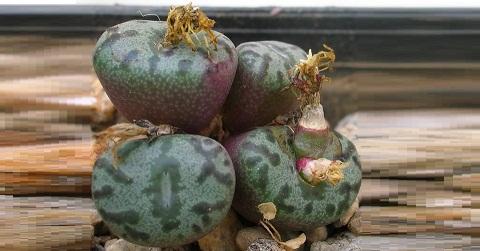 xopark2Conophytum-obcordellum-ssp—stenandrum