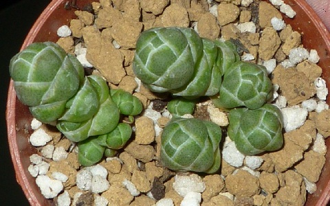 xopark2Crassula-columnaris
