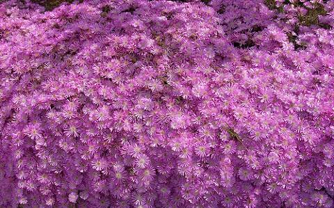 xopark2Drosanthemum-hispidum—Ficoide